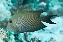 BD-131210-St-Johns-1104-Ctenochaetus-striatus-(Quoy---Gaimard.-1825)-[Striated-surgeonfish].jpg